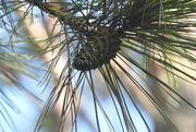 23rd Sep 2016 - Pretty Pine Cones!