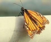 26th Sep 2016 - Monarch