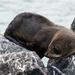 New Zealand fur seal pup resting on rocks by maureenpp
