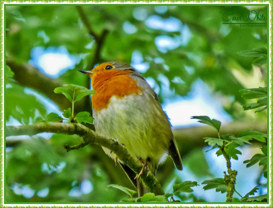 Just Another Robin by carolmw