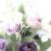 lisianthus flourish by pistache