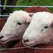 Herdwick sheep by callymazoo