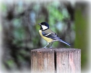 27th Sep 2016 - Great tit