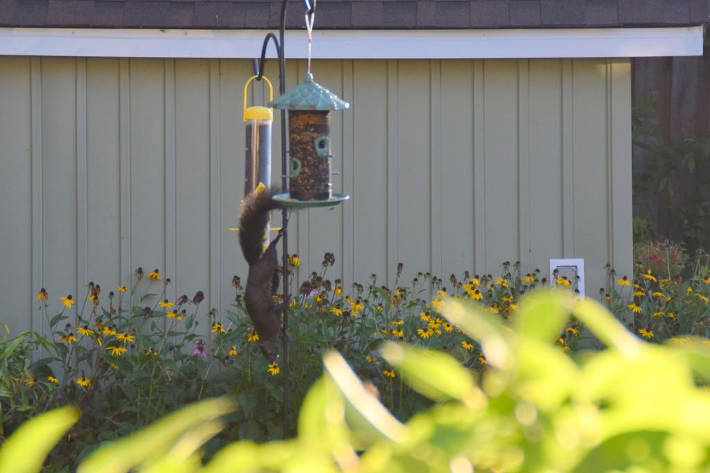 Squirrel walking down the bird feeder  by bruni