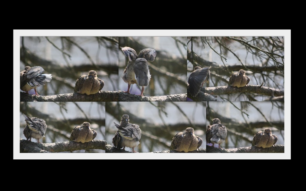 Busy doves by bruni