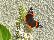 27th Sep 2015 - Red Admiral