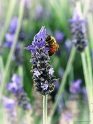 28th Sep 2016 - Honey bee on Lavender