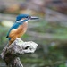 Kingfisher-juvenile by padlock