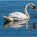 Swan And Reflection by carolmw