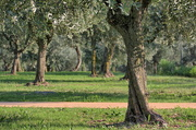 28th Sep 2016 - Olive trees