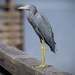 Lil Blue Heron! by rickster549