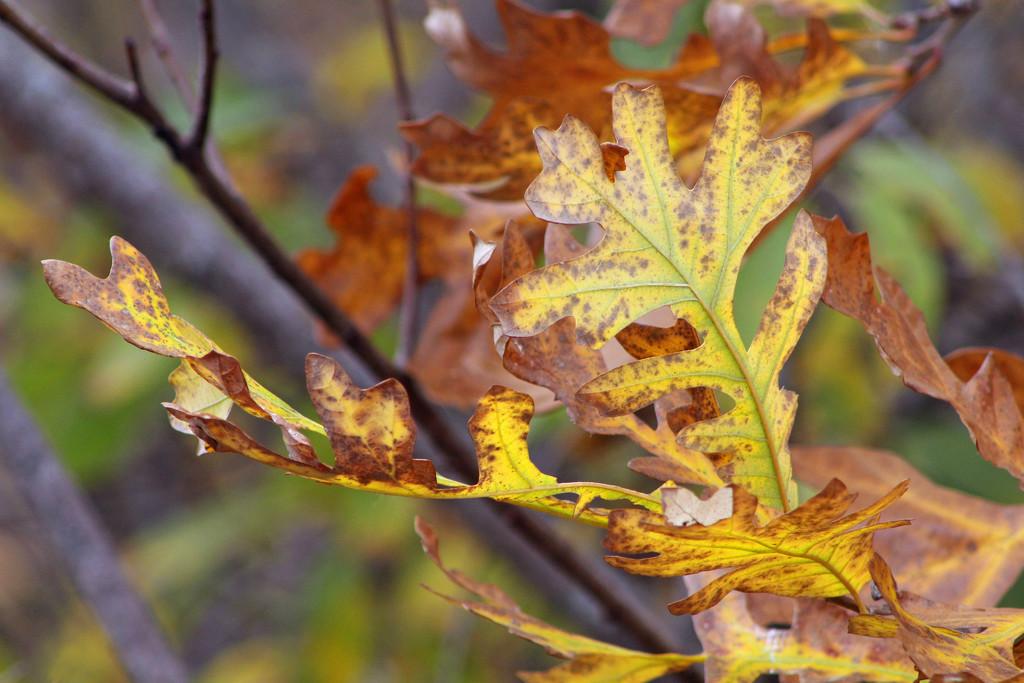 Autumn Leaves by gaylewood