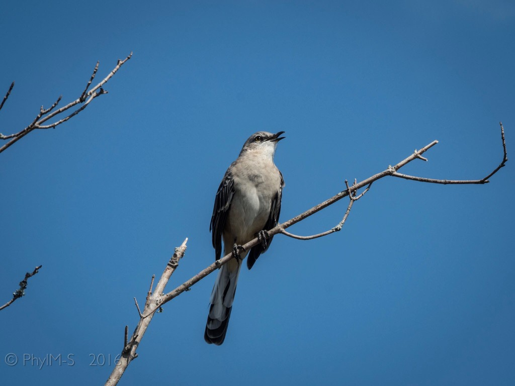 Northern Mockingbird in Alabama by elatedpixie
