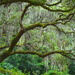 Live oak and Spanish moss by congaree