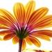 Yellow daisy by maureenpp