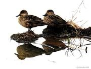 30th Sep 2016 - Reflecting on Ducks