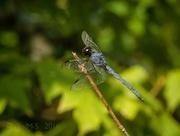 23rd Sep 2016 - Black Darter...  Dragonfly.