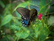 24th Sep 2016 - Black Swallowtail Anyone?