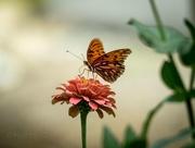 25th Sep 2016 - Gulf Fritillary Butterfly Lands On A Flower