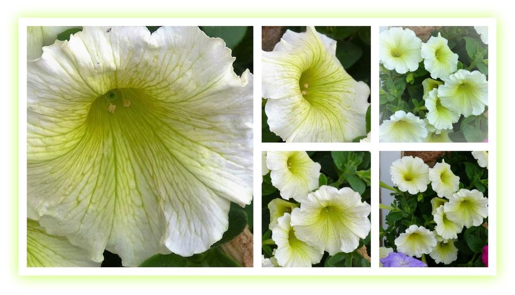 Petunia by beryl
