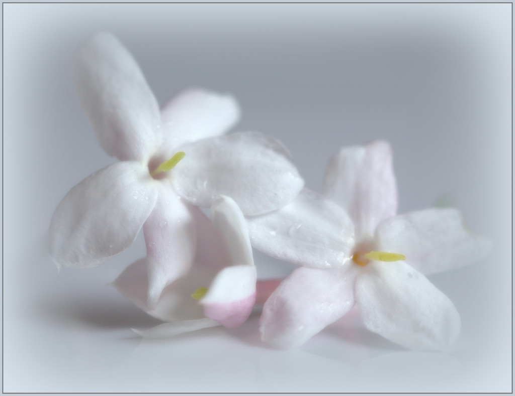 Jasmine by dide