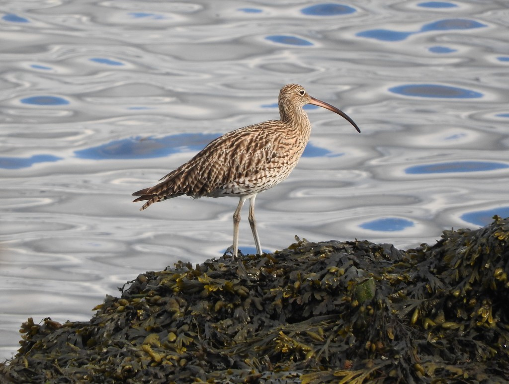 Curlew by oldjosh
