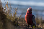 "30th Sep 2016 - Where does it say ""no galahs on the beach""?"