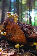 30th Sep 2016 - Rotting Tree Stump