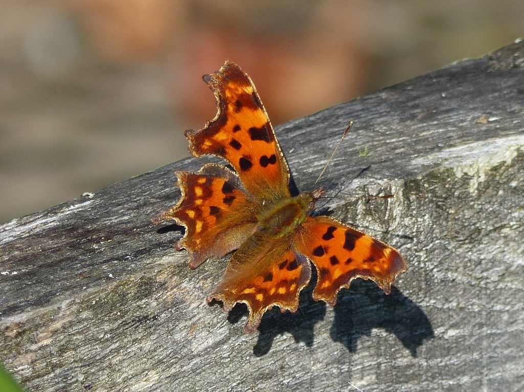 Comma ............ by susiemc
