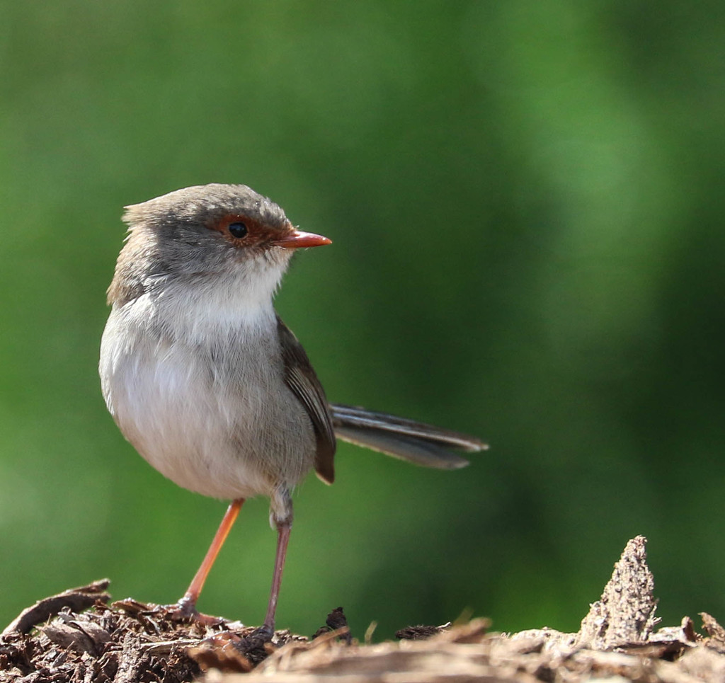 Young Superb Fairy Wren by flyrobin