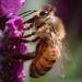 Bee lavender by flyrobin