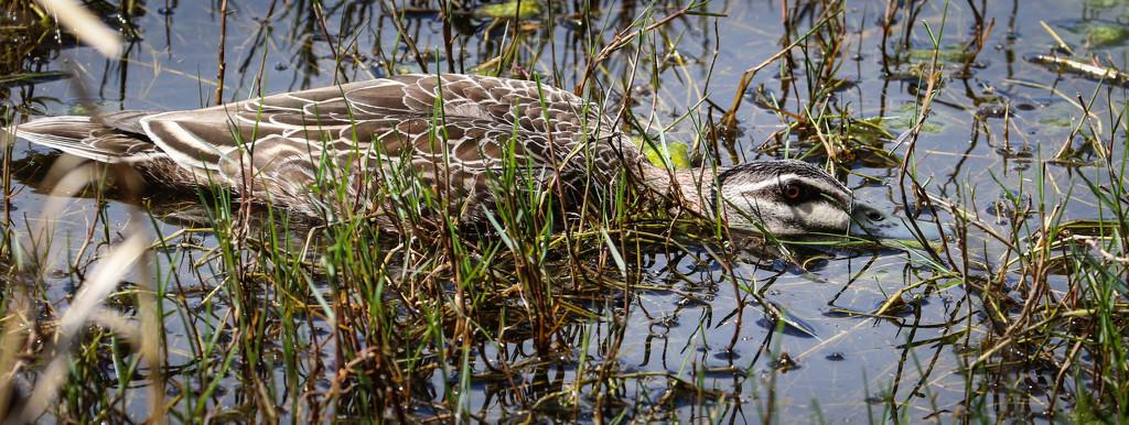 Duck and Seek? by flyrobin
