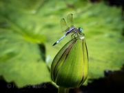 26th Sep 2016 - Lotus Flowers with Magical Dragonfly
