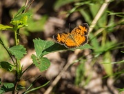 28th Sep 2016 - Pearl Crescent Butterfly Visits