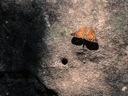 29th Sep 2016 - Rock Climbing Butterfly / Hackberry Emperor