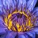 Lotus by elatedpixie