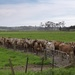 The cows line up to . . .