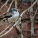 Long Tailed Tit..