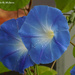 Morning Glories by falcon11