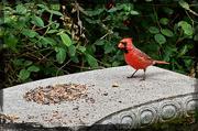 1st Oct 2016 - Wary Cardinal