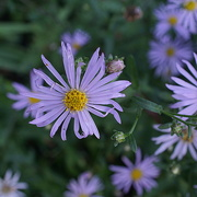 28th Sep 2016 - Michaelmas daisies in the garden at St Cross