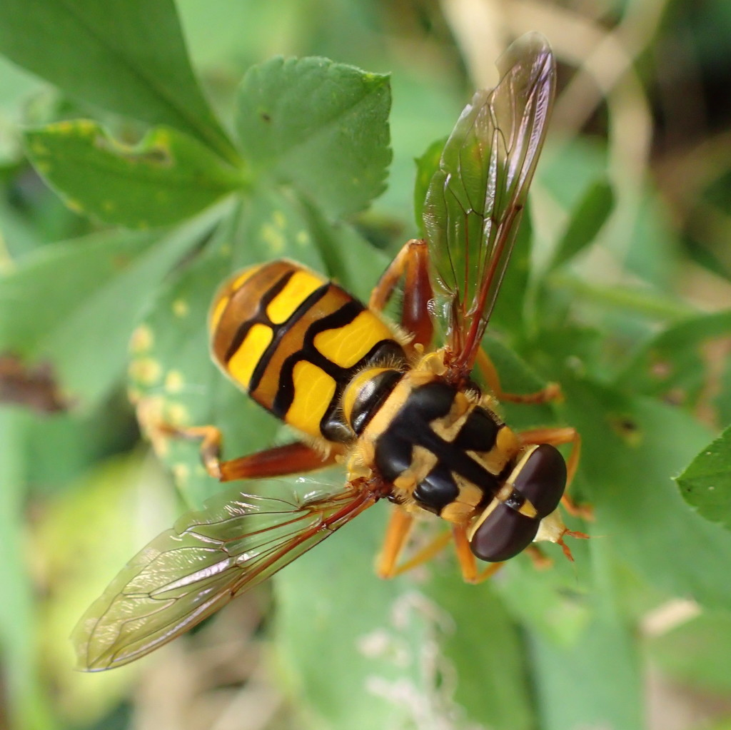 Yellowjacket Hover Fly by cjwhite