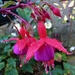 Fuchsias and dewdrops  by beryl