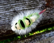 2nd Oct 2016 - Pale Tussock moth caterpillar - Calliteara pudibunda