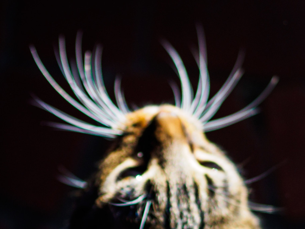 Chromatic Aberration on Cat Whiskers by fotoblah
