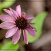 The Last Coneflower of Summer by olivetreeann