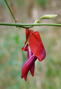 4th Oct 2016 - Dusky Coral Pea