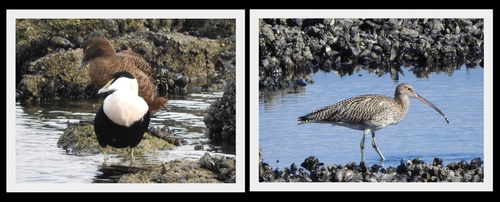 Eider Ducks and Curlew by oldjosh