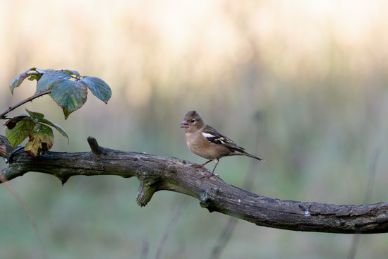 2016 10 04 - Female Chaffinch by pixiemac