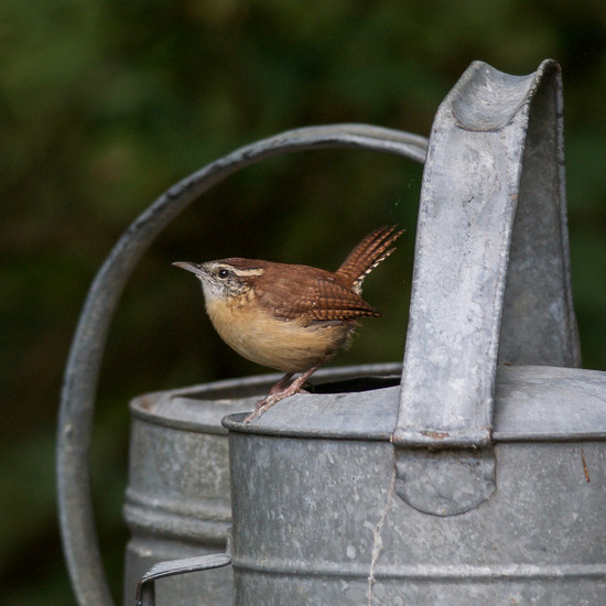 The wren from Carolina by berelaxed